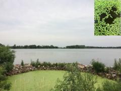 duckweed with zoom_0.jpg